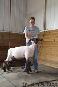 2014 Show ram lamb